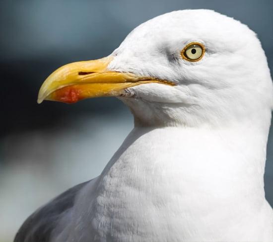 Hereford Seagull